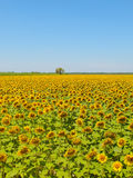 Sunflower field, Provence, France, shallow focus Stock Photos
