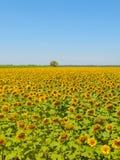 Sunflower field, Provence, France, shallow focus Stock Photos