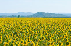 Sunflower field, Provence, France, shallow focus Stock Photography