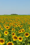 Sunflower field, Provence, France, shallow focus Royalty Free Stock Photography