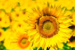 Sunflower field, Provence, France, shallow focus. Sunflower field in Provence, France, shallow focus stock images