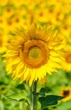 Sunflower field, Provence, France, shallow focus. Sunflower field in Provence, France, shallow focus stock image
