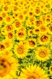 Sunflower field in Provence, France, shallow focus.  stock photography