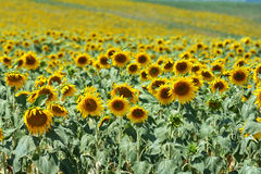 Sunflower Field 1 Royalty Free Stock Photography