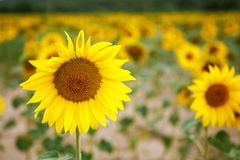 Sunflower field, Provence in southern France. Royalty Free Stock Photos