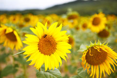 Sunflower field, Provence in southern France. Stock Image