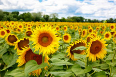 Sunflower field, Provence in southern France. Royalty Free Stock Image