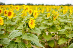 Sunflower field, Provence in southern France. Stock Photos