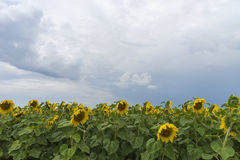 Sunflower field after the rain, rays penetrate through rain clouds Royalty Free Stock Photo