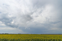 Sunflower field after the rain, rays penetrate through rain clouds Royalty Free Stock Image