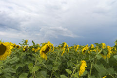 Sunflower field after the rain, rays penetrate through rain clouds Stock Photography