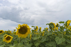 Sunflower field after the rain, rays penetrate through rain clouds Stock Photo