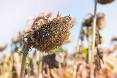 Sunflower field ready for harvest. Sunflower field ready for harvest in early autumn. Blue sky background Stock Photography