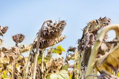 Sunflower field ready for harvest. Sunflower field ready for harvest in early autumn. Blue sky background Royalty Free Stock Images