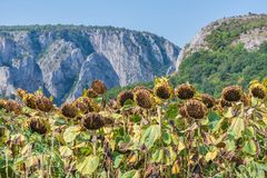 Sunflower field ready for harvest. Mountain side with a ravine, forest-covered hill seen in the background Royalty Free Stock Photos