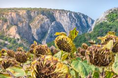 Sunflower field ready for harvest. Mountain side with a ravine, forest-covered hill seen in the background Stock Images