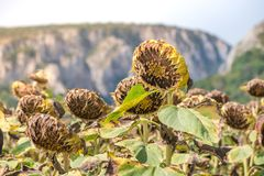Sunflower field ready for harvest. Mountain side with a ravine, forest-covered hill seen in the background Royalty Free Stock Photography