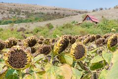 Sunflower field ready for harvest. Mountain side, hill with domestic animals - goats and cows seen in the background Stock Photography