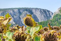 Sunflower field ready for harvest. Mountain side with a ravine, forest-covered hill seen in the background Stock Photos