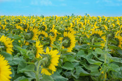 Sunflower field, rear view Royalty Free Stock Image