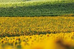 Sunflower field in rhine Royalty Free Stock Photo
