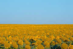 Sunflower field. Ripe sunflower field with blue sky Royalty Free Stock Photography