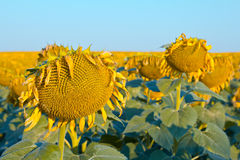 Sunflower field. Ripe sunflower in the foreground in field of sunflowers on a sunny day Royalty Free Stock Photo