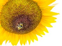 Sunflower in the field is ripe with a pollen collecting Bumblebee on white background royalty free stock photography
