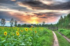 Sunflower field in rural farm on cloudy sky backgr royalty free stock photography