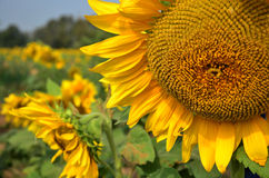 Sunflower Field at Saraburi Thailand Royalty Free Stock Photo