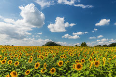 Sunflower field scenery . Stock Photo