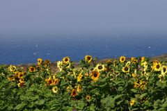 Sunflower field by the sea. Bright yellow sunflowers against the backdrop of the deep blue Pacific ocean royalty free stock photography