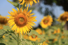 Sunflower in the field, selective focus, front view Stock Image