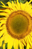 Sunflower on a field Stock Photography