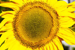 Sunflower on a field Royalty Free Stock Photo