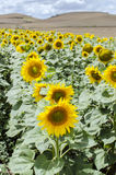Sunflower Royalty Free Stock Image
