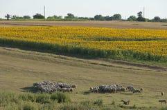 Sunflower field and sheep flock Stock Photos