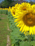 Sunflower field with sidewalk Stock Photos