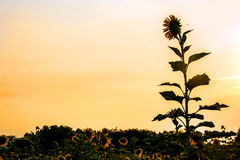Sunflower at field silhouette Stock Photos