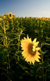 Sunflower. In the field with sky Royalty Free Stock Photography