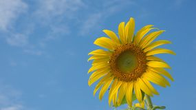 Sunflower. Field with sky background Stock Image