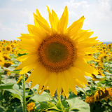 Sunflower field and  sky Royalty Free Stock Photos