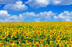 Sunflower field with sky. Sunflower field with blue sky royalty free stock image