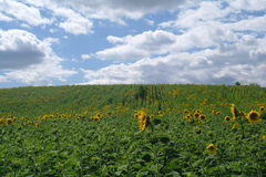 Sunflower field and sky. Royalty Free Stock Photo