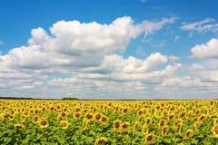 Sunflower field and sky Stock Photos
