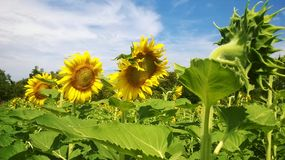 Sunflower. Field  sky yellow oil crop Royalty Free Stock Image