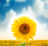 Sunflower on field Royalty Free Stock Photography