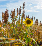 Sunflower in a field of sorghum. Close up Royalty Free Stock Image