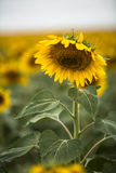 Sunflower in a Field in South Dakota Vertical Stock Image