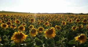 Sunflower field in South Moravia royalty free stock photos